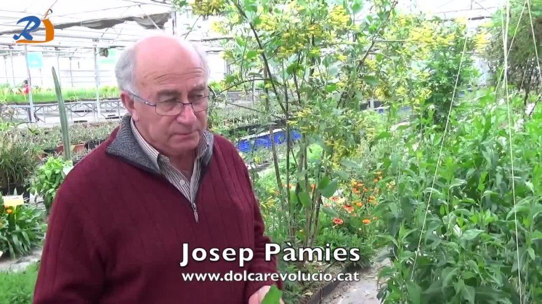 ROMPEPIEDRAS (Lepidium) - JOSEP PÀMIES