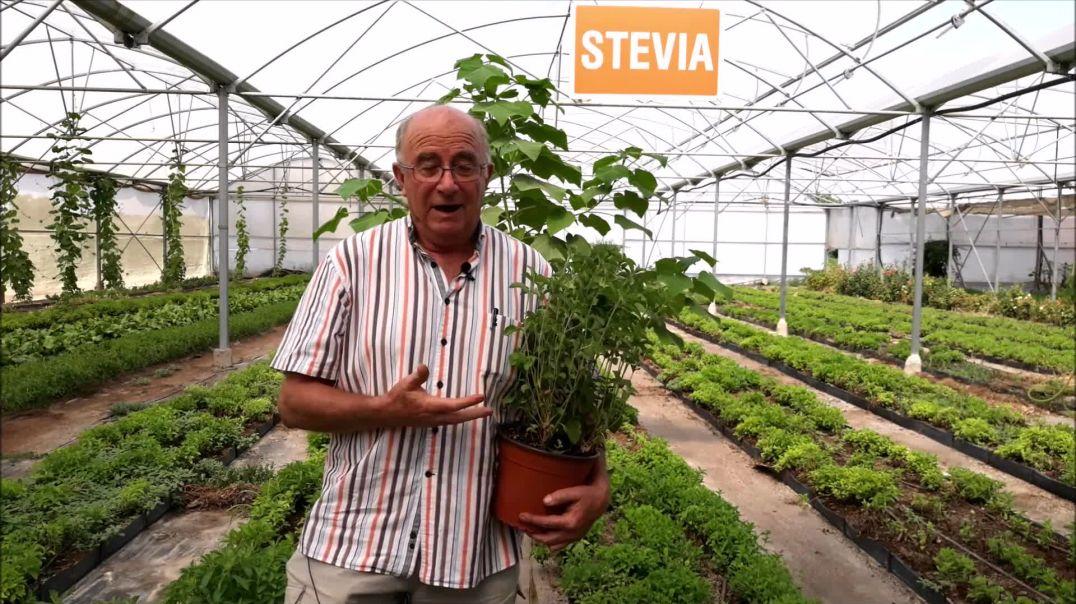 Josep Pàmies - Stevia rebaudiana Bertoni