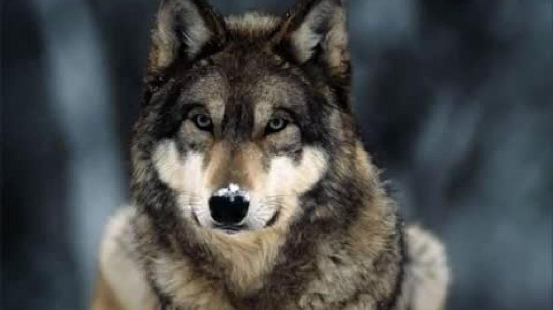 La danza de los lobos